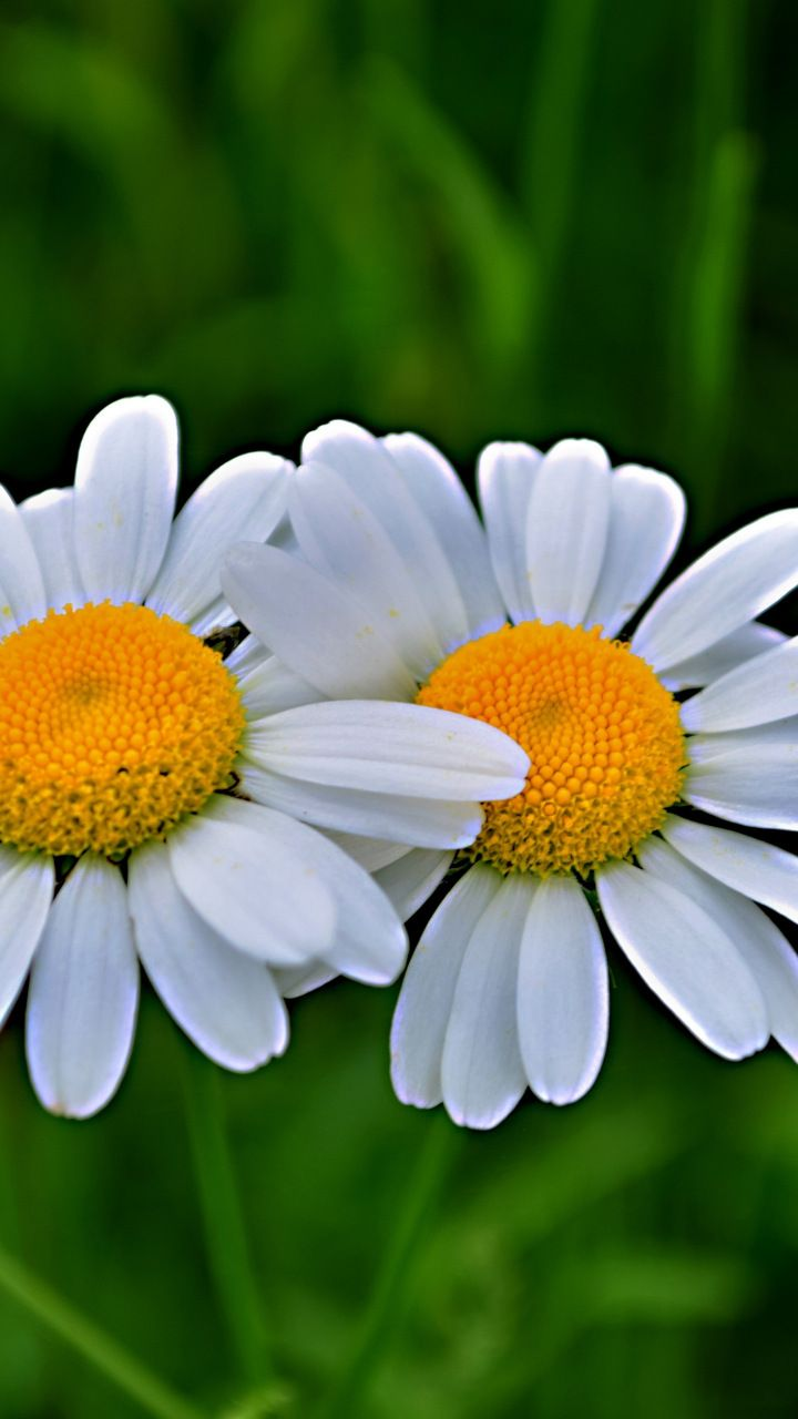 Daisy Flowers Pair Blur 720x1280 Wallpaper Flowers Wallpapers