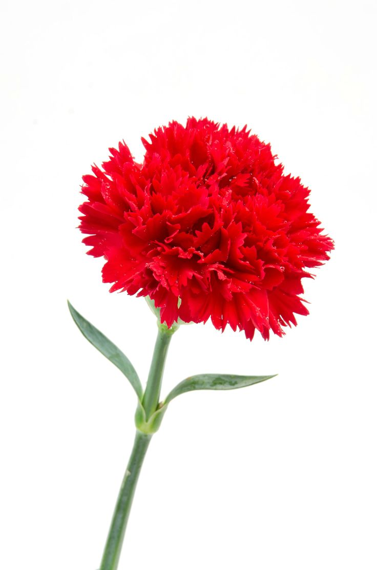 "Carnation - Karanfil (dianthus caryophyllus) ....red means ""My heart breaks"""