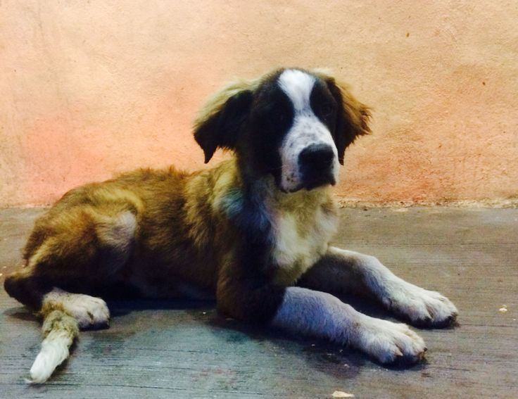 Se vende hermoso cachorro San Bernardo