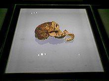 Niño de Taung es la denominación popular con que se hace referencia al fósil de un cráneo infantil de Australopithecus africanus de 2,5 millones de años de antigüedad encontrado en Taung.  comprende la mayor parte de la cara y mandíbula con los dientes y un molde interno de la caja craneal. Tenía cerca de tres años al momento de su muerte. Era una criatura bípeda de 105 cm y pesaba entre 9 a 11 kg aproximadamente. Tenía una capacidad craneal de 340 cc y vivió en la sabana