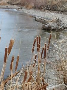 Cattails make a great winter edible!: Cat Tail, Wild Food, Wild Edible, Free Food, Winter Edible, Outdoor Fun, Edible Plants, Survival Food, Cattail