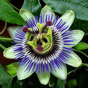 Blue Passion Flower Vine, 25 Seeds, Passiflora caerulea, butterfly heaven, showy blooms, vigorous vine