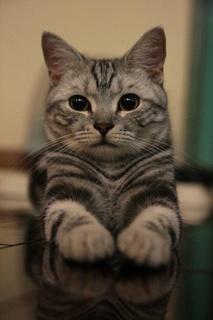 Silver Tabby American Shorthair cat.