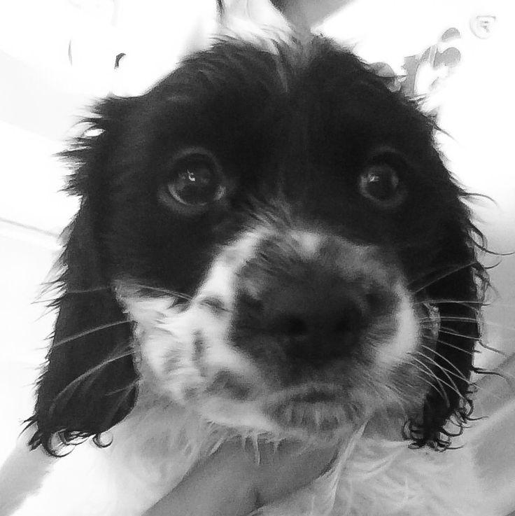 First puppy Bath !!!  #springer #spaniel