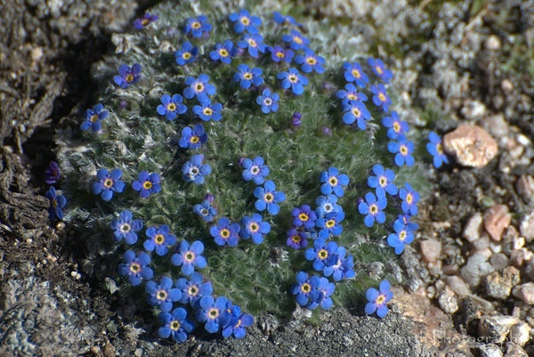 Alpine Forget Me Not Flowers Pinterest