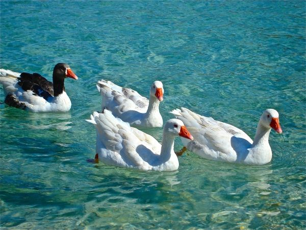 Geese in the sea