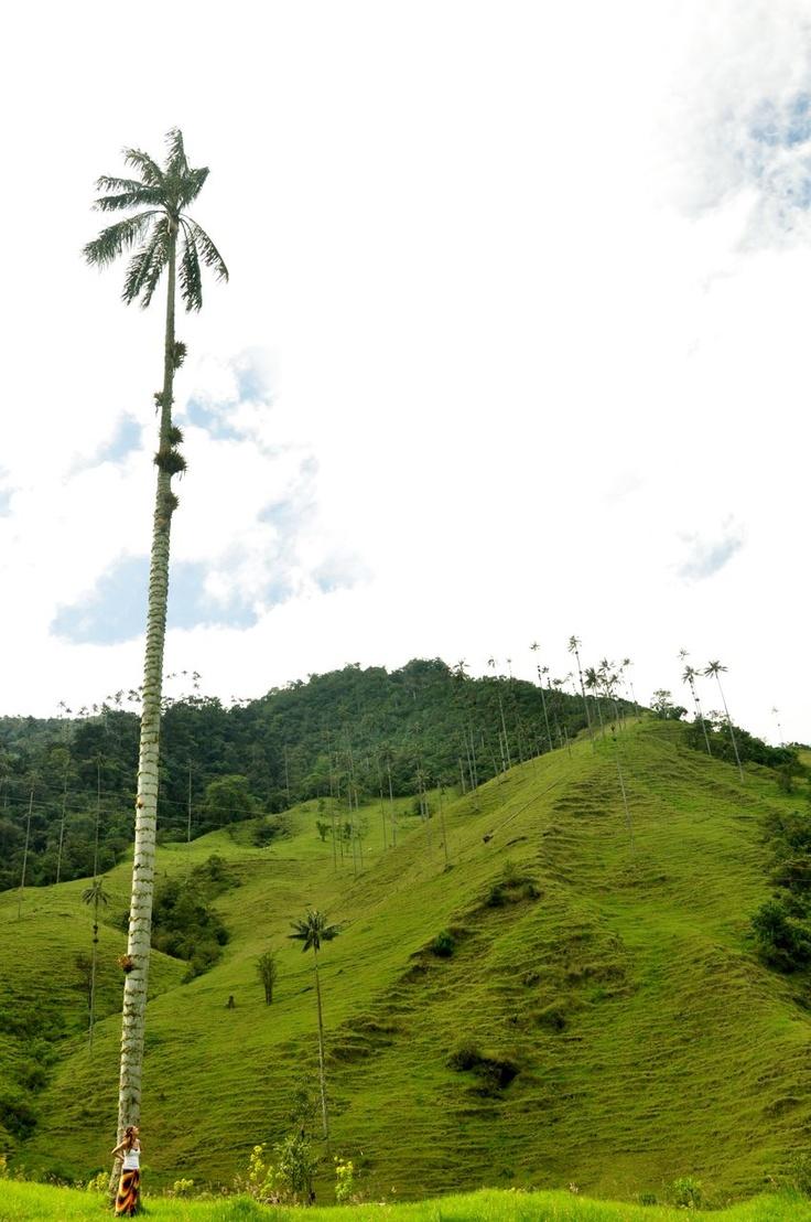Wax Palm - Valle de Cocora, Colombia