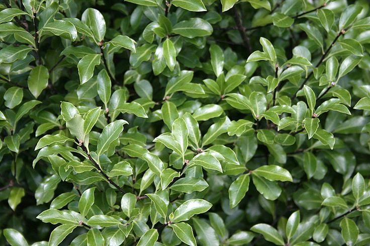 Pittosporum Tenuifolium Black Stem Kohuhu One Of My