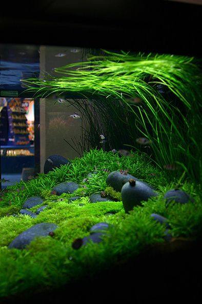 Best 25 aquarium ideas that you will like on pinterest for Green water in fish tank