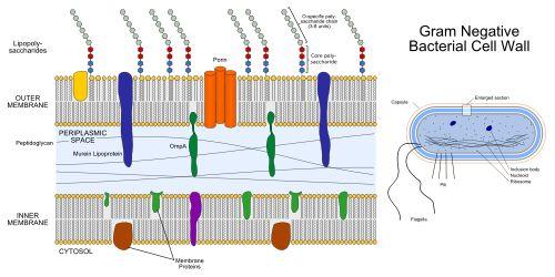 Gram-negative bacteria - Wikipedia, the free encyclopedia