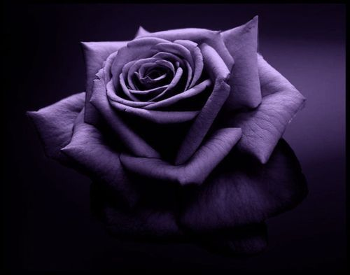 : Purple Flowers, Purple Passion, Beautiful Flowers, Color Purple, Things Purple, Beauty, Garden, Purple Roses