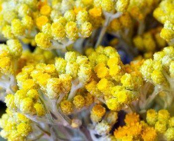 L'huile essentielle Hélichryse italienne, bienfaits et utilisations, sur Herbiotiful