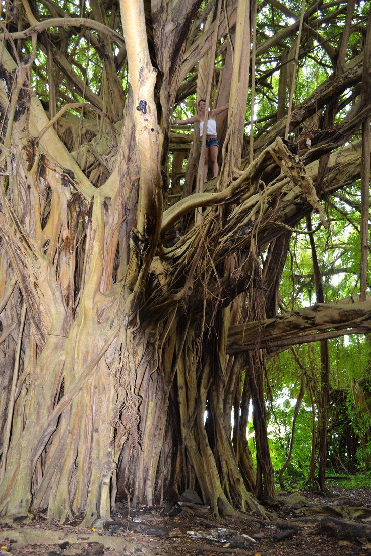 Banyon Tree. Big Island, Hawaii