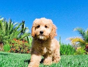 Mini Goldendoodle Puppies for sale in San Diego, Southern