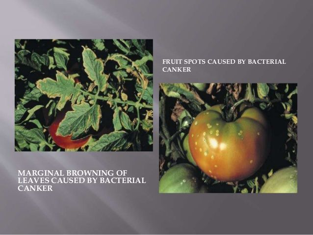 MARGINAL BROWNING OF LEAVES CAUSED BY BACTERIAL CANKER FRUIT SPOTS CAUSED BY BACTERIAL CANKER
