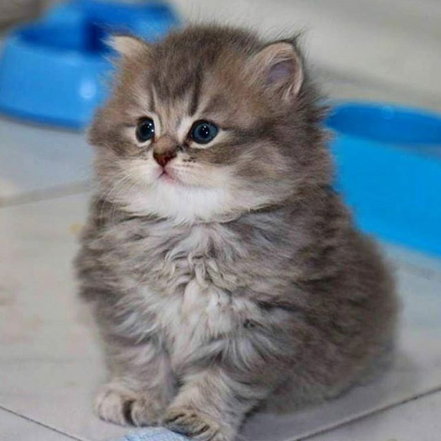 Best Cute Kittens Ideas On Pinterest Cute Cats And Kittens - Meet the ridiculously fluffy kitty thats more cloud than cat