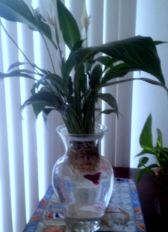 18 best images about house plants on pinterest from home for Peace lily betta fish