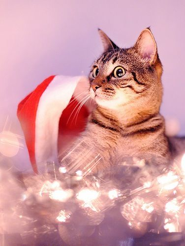 #animales #navidad #gatito #magazinefeed