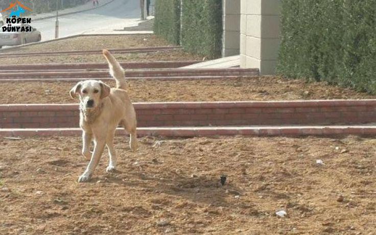 Esenyurt'ta bulduğumuz 1 yaş civarı erkek Labrador İstanbul içine sözleşme ile ücretsiz olarak sahiplendirilecektir. http://www.kopekdunyasi.com/ucretsiz-erkek-labrador.html