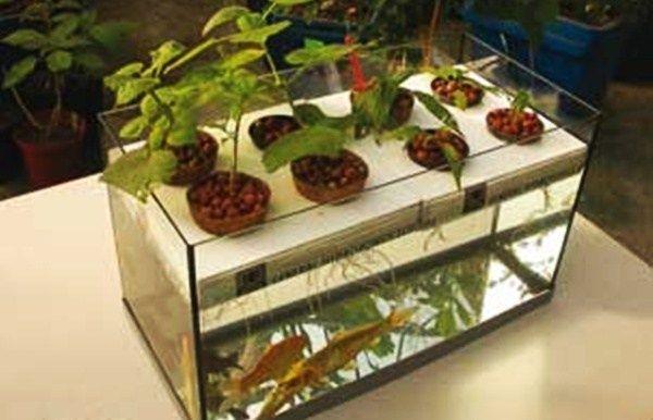 Aquaponik, Teknik Berkebun Yang Menakjubkan