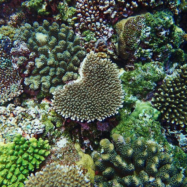 【tig_mo】さんのInstagramをピンしています。 《# ◟́◞̀ ♡ #ハートの珊瑚 #珊瑚 #沖縄 #読谷村 #残波岬 #残波岬灯台 #tig_dive #ダイビング #スキューバダイビング #diving #scubadiving #水中写真 #海 #海が好き #沖縄大好き》