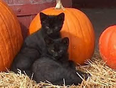 Do you know that black cats are the least adopted because of superstition? I have only been made aware of this recently...so, when adopting, please consider adding these lovely's to your family please.