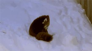 This little gal building herself a snow fort. | The 27 Best Red Panda GIFs Of All Time