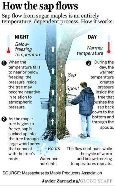 How maple syrup sap flows
