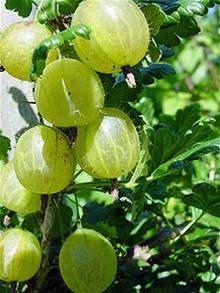 Root gooseberry gooseberry plant gooseberry bush by KnitSew4U