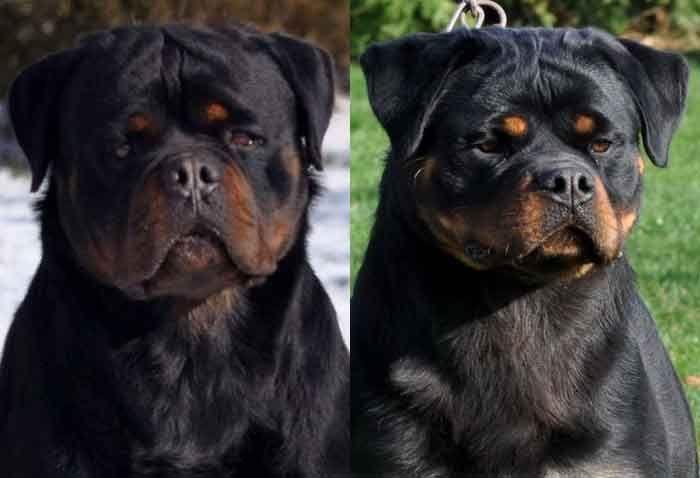 Karlos Minie W Rottweiler Puppies For Sale Rottweiler