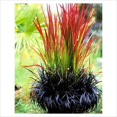 japanese blood grass and black mondo grass - I love this combo!