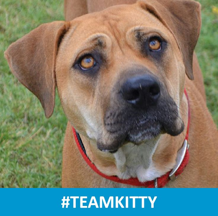 Hi, I'm Kitty. My story so far is a sad one. I have lived most of my life chained up as a breeding dog and I'm now looking for a better tomorrow. Unfortunately I can't participate in this year's #RSPCA #millionpawswalk, but I'll still be raising much needed funds to help all of my friends at the RSPCA. Please help me reach my fundraising goal by donating via the link below, and spread the word using #TeamKitty #RSPCAmpw http://www.rspcaqld.org.au/Events/Calendar/Million%20Paws%20Walk