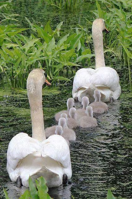 parent swans swimming in front & back of cygnets