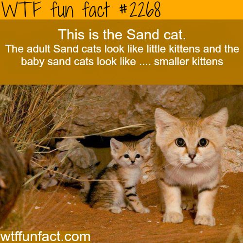 Sand Cat - WTF fun facts Possibly the cutest cats ever