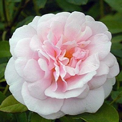 'Spice' China Rose (Rosa chinensis cv.)
