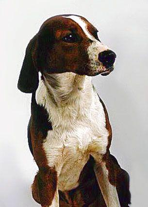 Arly  Google Image Result for http://www.thebreedsofdogs.com/images/YUGOSLAVIAN_HOUNDS.jpg