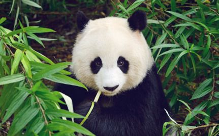 China's Panda Population is Growing, But So Are Worries About the Future-ALL ANIMALS IN CHINA NEED PROTECTION