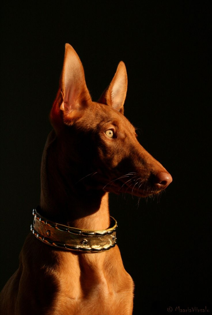 Pharaoh Hound - the national hound of Malta, bred for chasing rabbits.
