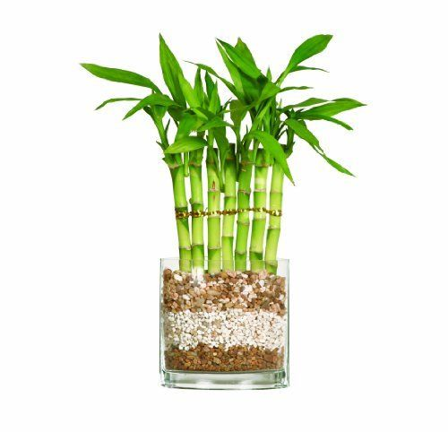 Brussel's Lucky Bamboo, Fence by Brussel's Bonsai. $31.97. Chinese symbol of good fortune. Easy care favorite. Dracaena sanderiana. 3 Years old; 12 inches tall. Bamboo is the perfect accent to any room. In China, Lucky Bamboo is thought to bring good fortune. Although it is not considered bonsai, this unique plant is very elegant and extremely easy to grow. In order to display your lucky bamboo, simply secure the canes in the decorative rock and fill the container with water...