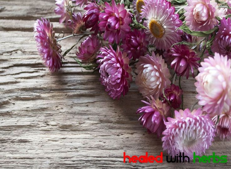 helichrysum essential oil is as helpful to burns as it's flowers re beautiful.. and thats A LOT. Visit HealedWithHerbs.com/essential-oils-for-burns/  for more essential oils and blend recipes to help with burns and scars! #essentialoils #burn #scar #homeremedy