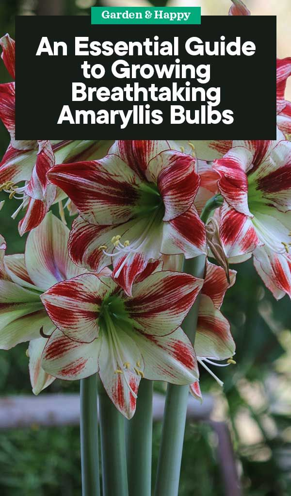 An Essential Guide To Growing And Caring Amaryllis Bulbs Amaryllis Bulbs Garden Bulbs Amaryllis Care