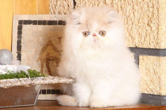 Rodzaje futra u kotów
