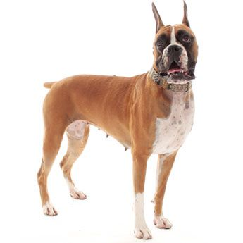 Boxers | Looking for Boxer Puppies for Sale? Find Boxers, dog care advice, dog breeders & info on all dog breeds here at Dog Channel.