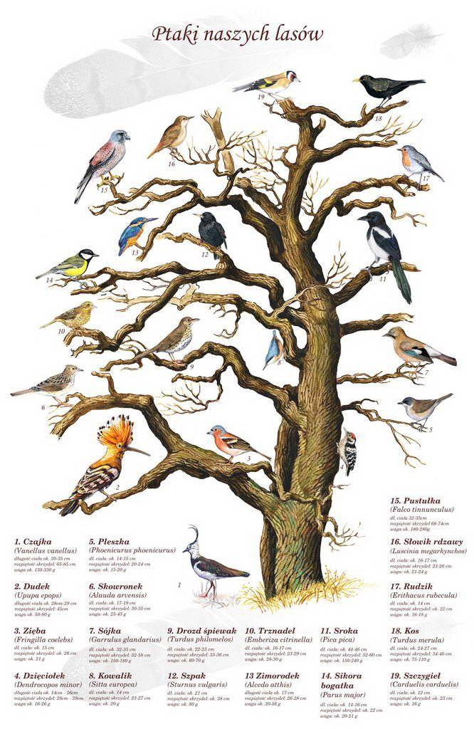 TE-42 – Vögel unserer Wälder