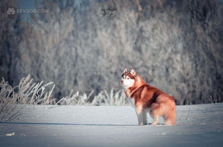 Сибирские хаски зимой | Фото хаски и маламуты
