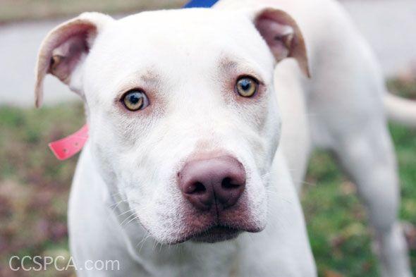 pitbull puppies Google Search Pitbull Pinterest