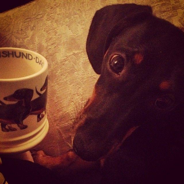 Dachshund for a dachshund. Beautiful Emma Bridgewater mug that the loveliest mother in law gave me. #mug #tea #dachshund #dogs #emmabridgewater #matchingmugs #lovely #motherinlaw #amazinglady #present #teamad #sunday