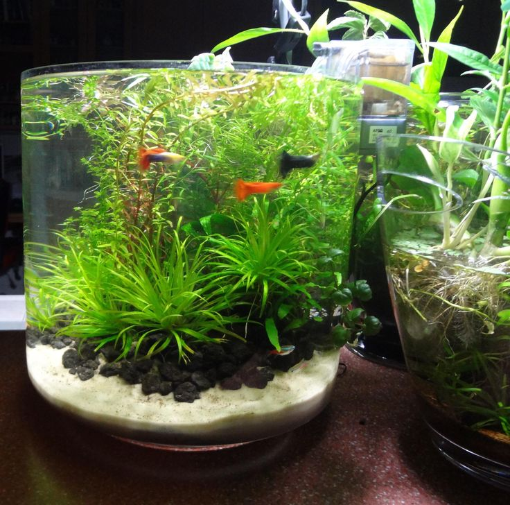 600 best images about aquariums on pinterest planted for Betta fish and plants