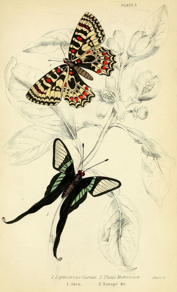 Scientific Illustration | wapiti3:  Foreign butterflies  By Duncan, James,...