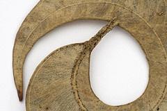 curled gum leaf